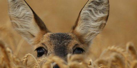 8 wilde dieren die je gewoon in Europa kunt spotten