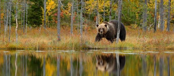 Bruine beren in Zweden