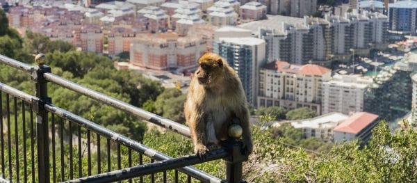 Berberaapjes in Gibraltar