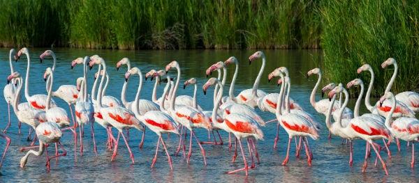 Flamingo's in Frankrijk