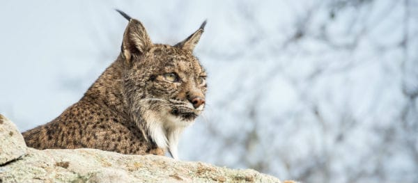 Lynxen in Spanje