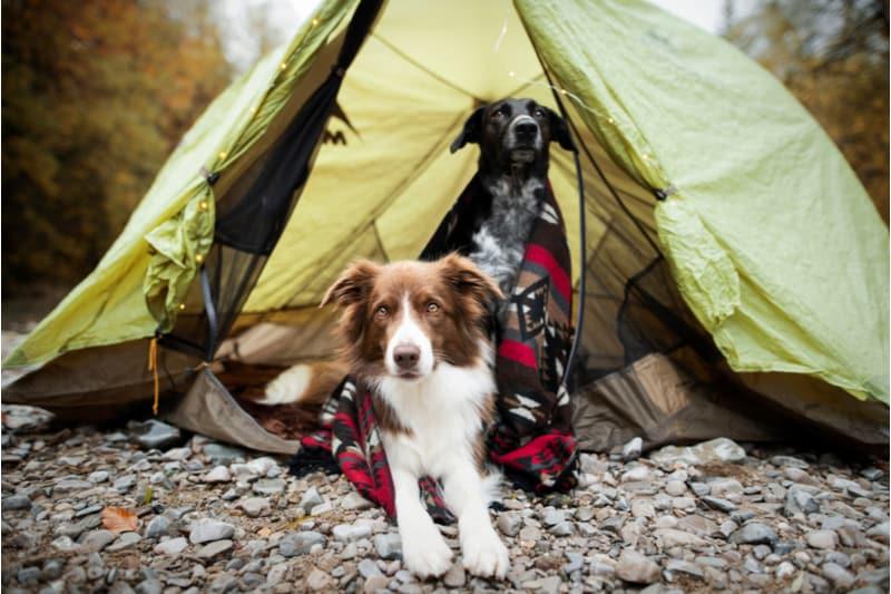 Honden in een tent